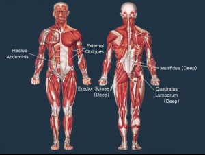 core-musclessummary-front-back